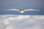 Snowy owl in winter Canada (Snowy Owl)