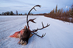 Head of Caribou bull on Dempster Highway Yukon (Caribou)