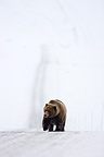 Young grizzly walking on Dempster Highway in in snow Yukon (Grizzly bear)