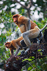 Proboscis monkeys mating Tanjung Puting NP Borneo (Proboscis monkey )