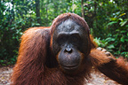 Portrait of a male orangutan in the Tanjung Puting NP Borneo (Orangutan)