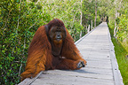 Dominant male orangutan on board walk Borneo (Orangutan)