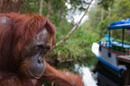 Female orangutan looking at house boat Borneo (Orangutan)