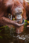 Female orangutan drinking water from Camp Leakey River (Orangutan)