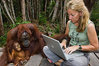 Tourist with laptop computer sitting next to orangutans (Orangutan)