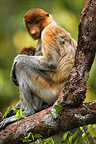 Female proboscis monkey with baby in tree Borneo (Proboscis monkey )