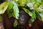 Orangutan mother with baby protecting themselves from rain (Orangutan)