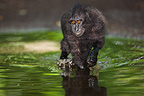 Male crested black macaque running in water Sulawesi (Celebes Black Macaque )