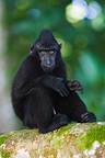 Young male crested black macaque sitting on branch Sulawesi (Celebes Black Macaque )