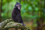 Baby crested black macaque in tree Sulawesi (Celebes Black Macaque )