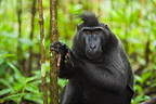 Male crested black macaque in secondary rain forest Sulawesi (Celebes Black Macaque )