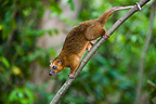Bear cuscus tail holding branch in tree Sulawesi island (bear cuscus)