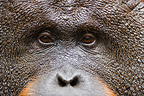 Close up of a dominant male Orangutan Tanjung Puting NP (Orangutan)