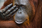 Close up of a female Orangutan rubbing eye Borneo (Orangutan)