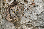 Boreal Owl in her box in spring France (Boreal Owl )