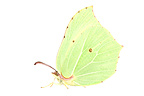 Common Brimstone in studio