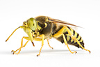 Sand wasp in studio (wasp)