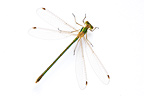 Southern emerald damselfly in studio