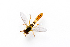 Hoverfly in studio