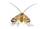 Common Scorpion Fly in studio