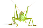 Great Green Bush Cricket in studio�