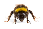 Buff-tailed Bumblebee in studio