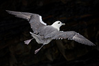 Northern Fulmar flying in Ireland (Northern Fulmar)