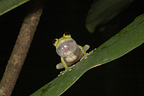 Glass Frog blowing her male vocal sac Guyana (Yuruani Glassfrog)