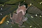 Couple of Albina Surinam Toad mating in Guyana