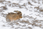 European brown hare in snow in winter Hesse Germany (European Hare )