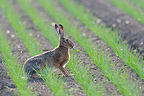 Brown hare in a grain field in spring Hesse Germany (European Hare )