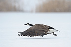 Canada Goose in snow in winter Hesse Germany (Canada Goose)