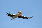 Flying white stork with nest-materialHesse Germany (White Stork)