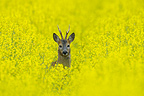 Roe buck in spring in a rape field Hesse Germany (Roe deer)