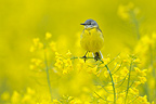 Yellow Wagtail in a rape field in spring Hesse Germany (Yellow Wagtail)