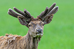 Red deer in spring with velvet on his antler Germany (Red deer)