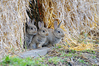 Young European rabbits Hesse Germany (European rabbit)
