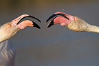 Taking beaks between Flamingos in the Camargue NRP (Greater Flamingo)