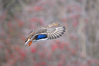 Mallard duck in flight against a backdrop of bush Hawthorn (Mallard Duck)