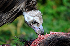 Cinereous Vulture (Monk Vulture) eating a boar carcass