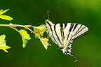Swallowtail landed on a branch of hawthorn�