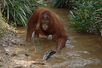 Orangutan catching fish from river during dry season Borneo (Orangutan)