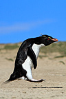 Southern Rockhopper Penguin jumping Falkland Islands (Southern Rockhopper Penguin)