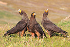 Striated Caracaras displaying, Falkland Islands