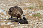 Brown Skua killing a young Cormorant Falkland Islands (Brown Skua)