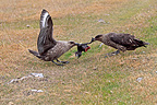 Brown Skuas eating a Cormorant chick Falkland Islands (Brown Skua)