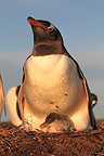 Gentoo penguin brooding her young Falkland Islands (Gentoo penguin)