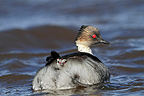 Silver Grebe swimming and chick on back Falkland Islands� (Silvery Grebe)