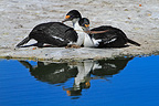 Couple of King Shag Falkland Islands� (King Shag)