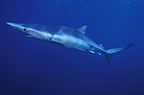 Blue shark swimming off the Cape of Good Hope South Africa (Blue shark )